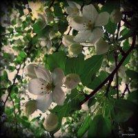 Яблоня в цвету :: Lady Etoile