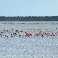 Фламинго на выпасе :: Igor Khmelev
