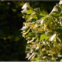 липа в цвету :: linnud
