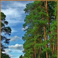в сосновом лесу :: Дмитрий Анцыферов