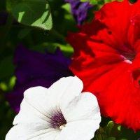 Просто цветы :: Виктор Чебоксаров