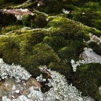 кам'яний мох :: МищЪя Бульбо