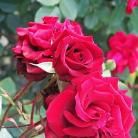 Как хороши,как свЕжи были розы! :: Ирина