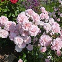 куст розы Home & Garden на второй год :: lenrouz