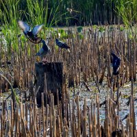 Голуби на болоте... :: Юрий Стародубцев