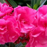 Цветущие кустарники Абхазии :: Светлана
