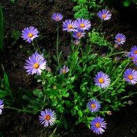 Ромашки небесного цвета... :: Тамара (st.tamara)