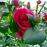 стыдливая роза :: Татьяна Осипова(Deni2048)