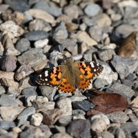 Бабочка :: Виктор Гришенков