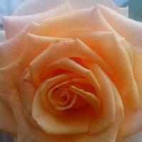 морковная роза :: Светлана Козлова