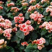 "Begonia ×hiemalis Fotsch "" BORIAS "" :: laana laadas"
