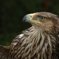 Гордая птица :: Римма Алеева