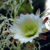 Цветок кактуса. :: Валерьян