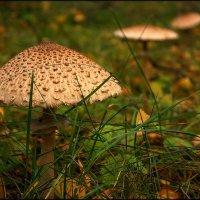 Лесной бифштекс :: Olenka