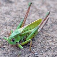 В траве сидел кузнечик, зелёненький он был... :: Борис Русаков