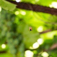 паук :: Александр Булавко