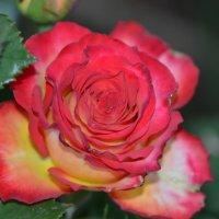 роза :: Александр Клименко