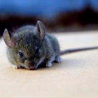 мышка :: Александра Савченко