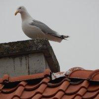 чайка на крыше :: Валентина Папилова