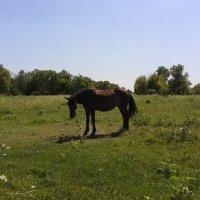 лошадь на лугу :: Юлия Закопайло