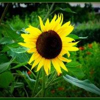 Солнечній цветок... :: Владимир Секерко