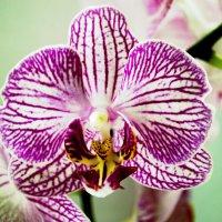 Орхидея :: Вероника Мякота