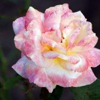бело-розовое чудо :: Na2a6a N