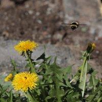 Пчела :: Мария Жуковская