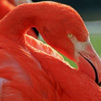 Фламинго :: Alexander