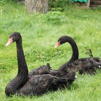 Черные лебеди :: GALINA