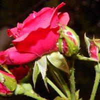 Розовый куст :: Дарья Неживая