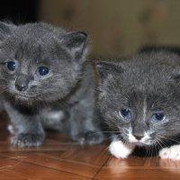 котята :: Валерия Шамсутдинова