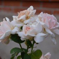 розы :: Анатасия Николаева