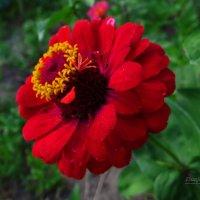 Цветочек аленький. :: Антонина Гугаева