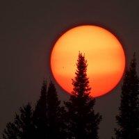 В августе солнце садится за ёлки :: Нина Штейнбреннер