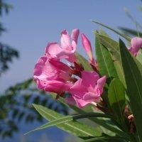 олеандр цветок :: İsmail Arda arda