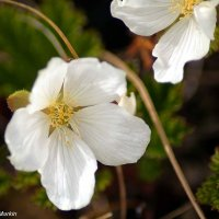 Морошка цветёт :: Роман Маркин