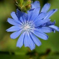 Милый цветочек степей :: Elena Izotova
