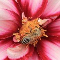 Летомпчелкамцелый день  собирать нектар не лень. :: Ольга Ламзина