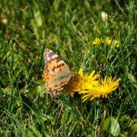 Просто бабочка и одуванчик :: Андрей Печерский