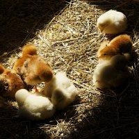 Цыплята :: Виталий Устинов