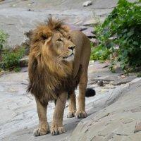 Король лев :: Ольга Захарова