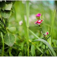 Скромненький алый цветочек :: Василий Хорошев