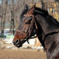 Портрет лошади 3 :: leoligra