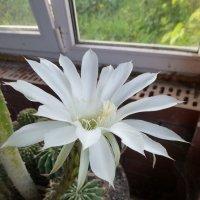Цветущий кактус :: Наиля
