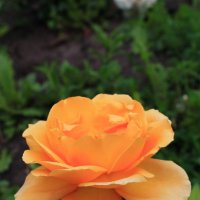 роза :: Юлия Грей
