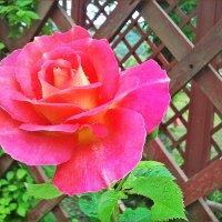 Роза :: Ольга Ламзина