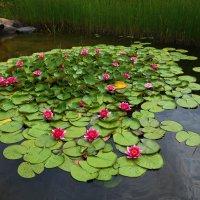 Красная водяная лилия :: Ринат Шакиров