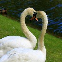 Лебеди :: юрий