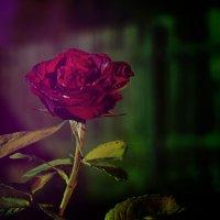 роза в саду :: Сергей Машинин